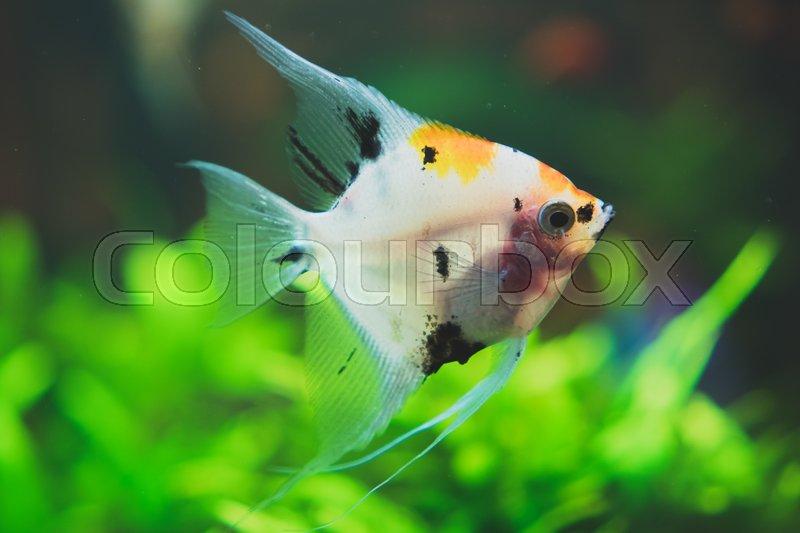 Freshwater Angelfish In Home Aquarium Pterophyllum Stock Photo