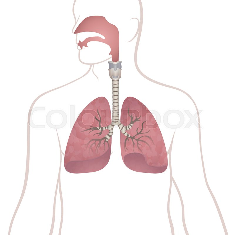 Image Of The Anatomy Of The Lungs The Location Of The Internal