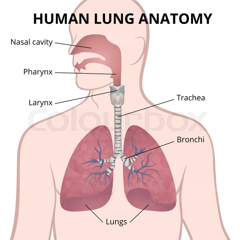 Image of the anatomy of the lungs the location of the internal image of the anatomy of the lungs the location of the internal organs of respiration in the human body stock vector colourbox ccuart Image collections
