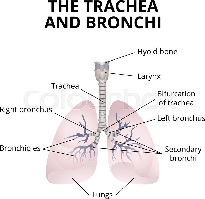 The Structure Of The Trachea And Bronchi With Explanations Stock