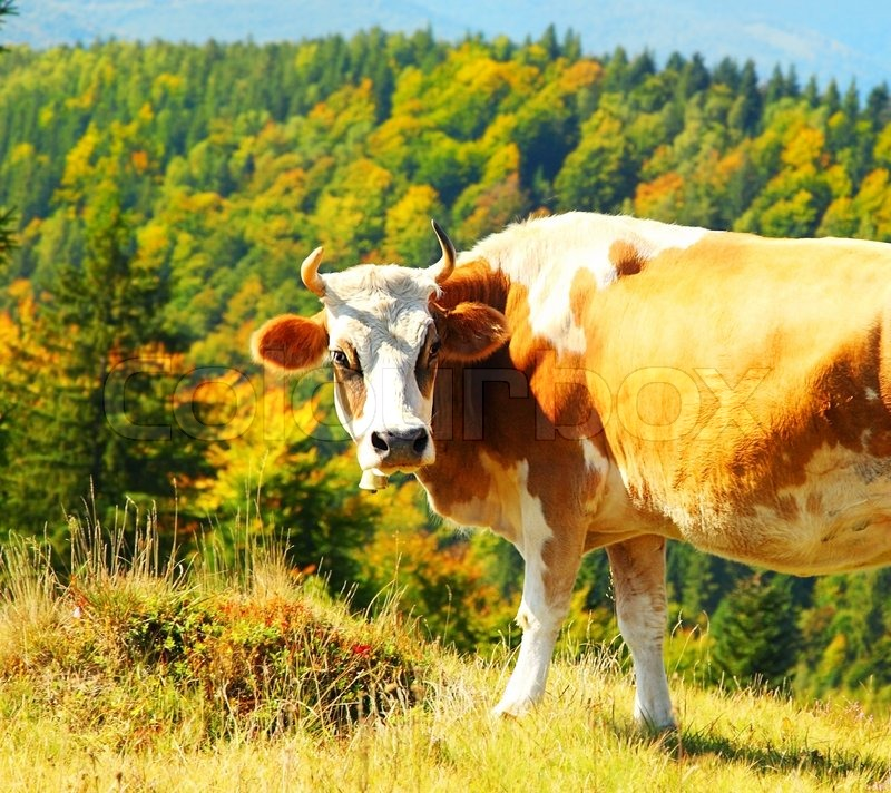 essay domestic animal cow
