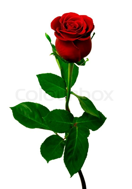 3220669 409813 single red rose on a white background - Lovly Red Rose