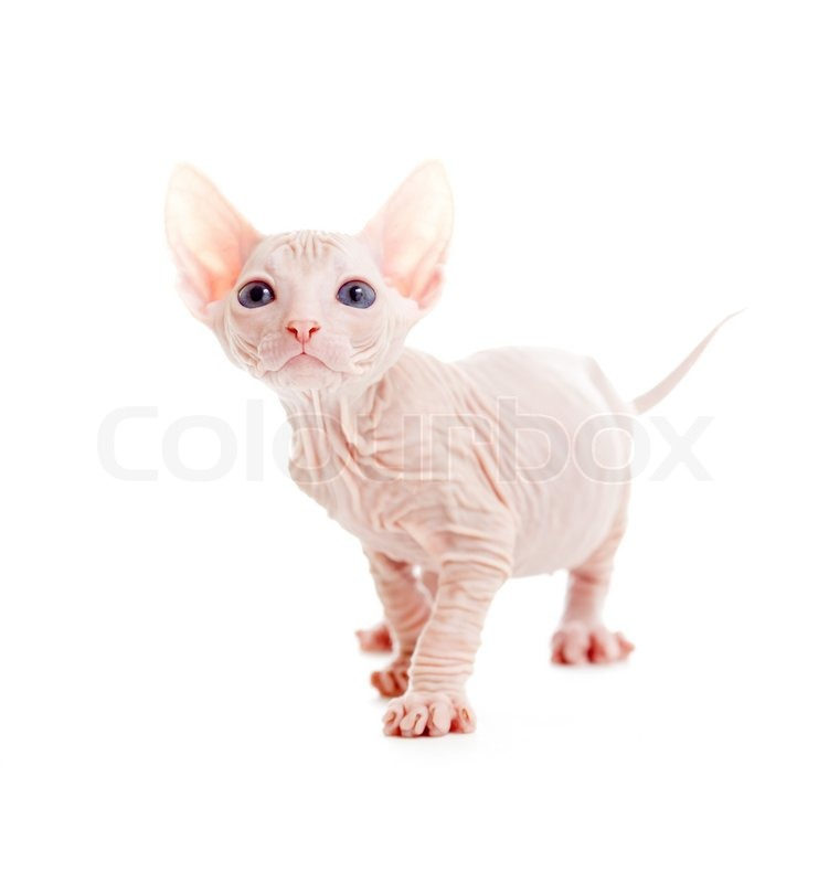 Funny hairless sphynx kitten isolated | Stock image | Colourbox