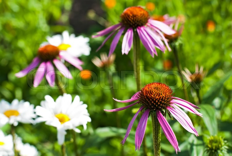 echinacea blumen unter calendula und hamomilla bei medizin pflanze feld stockfoto colourbox. Black Bedroom Furniture Sets. Home Design Ideas