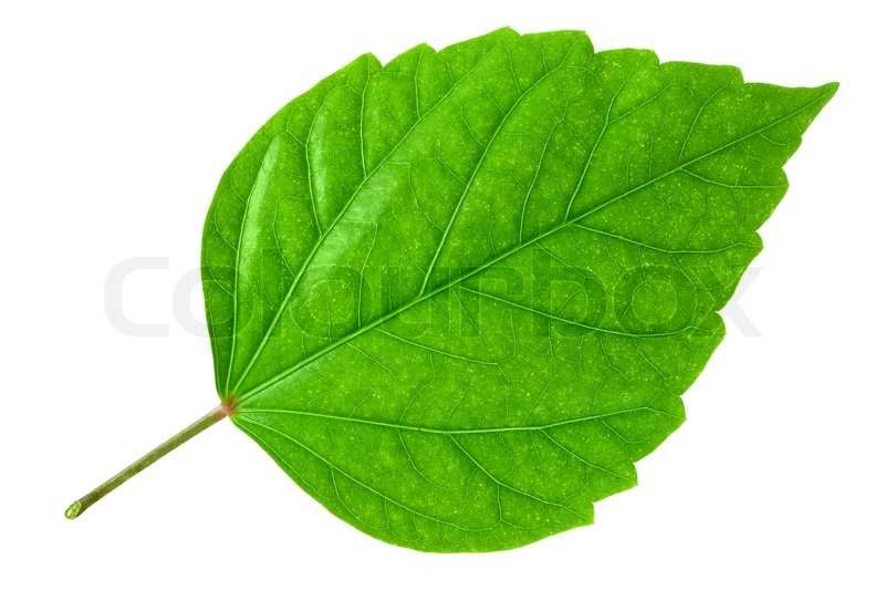 Green Leaf Of Hibiscus Closeup On White ...