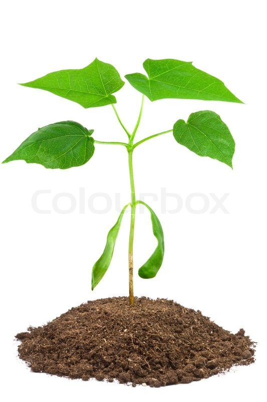 2 month sapling of norway maple acer platanoides stock for Tree sapling