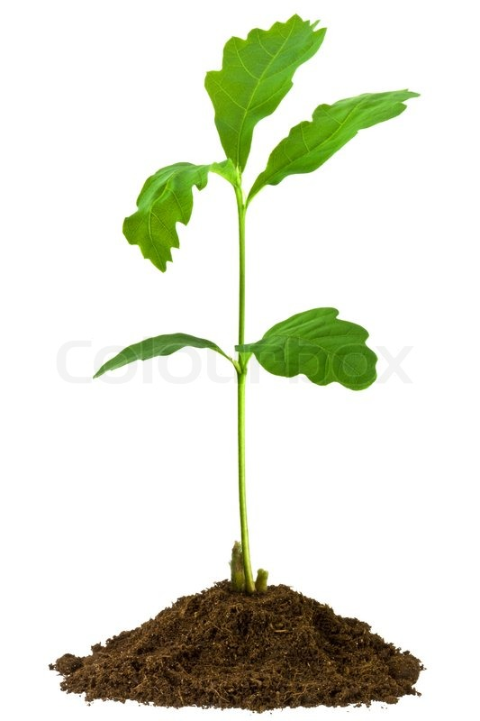 sapling oak isolated on a white background stock photo