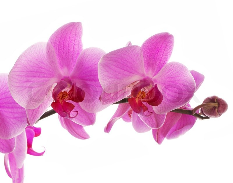 Stock image of 'Pink orchid, closeup shot, white background'