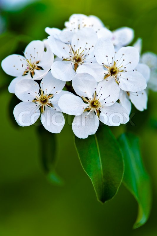 Apple Tree Blossom White Flowers On A Stock Photo Colourbox