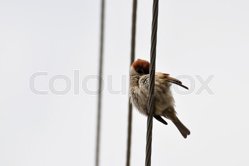 A cute Sparrow cleans feathers sitting on the wire, stock photo