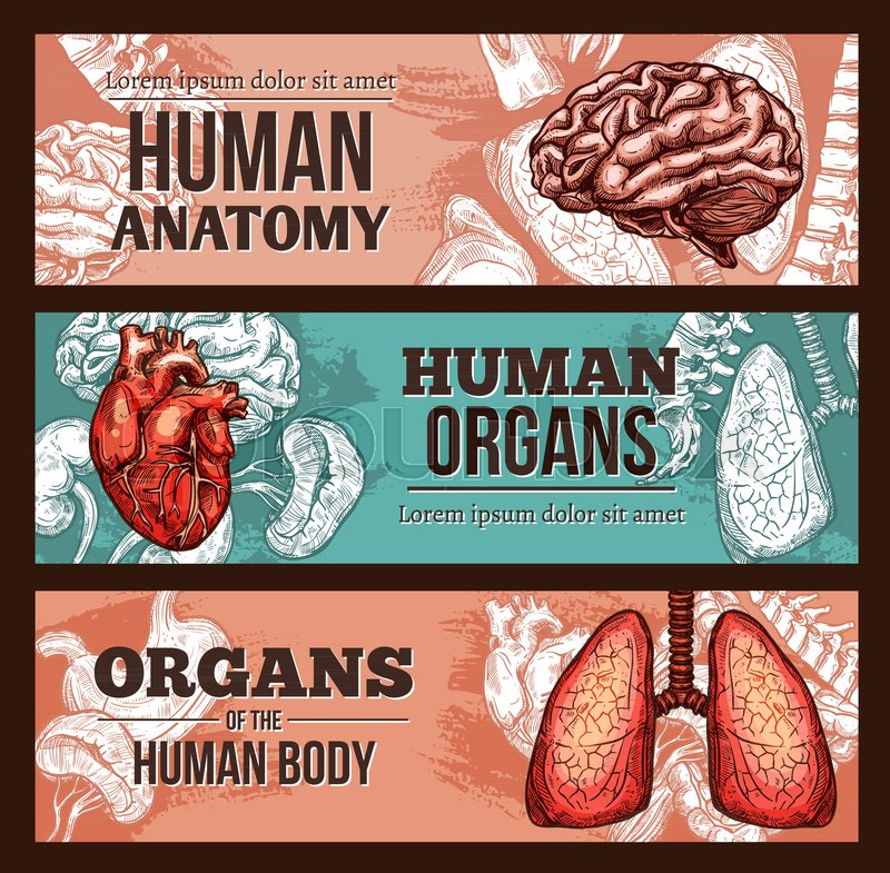 Human Organ Anatomy Sketch Banner Set With Internal Body Parts And