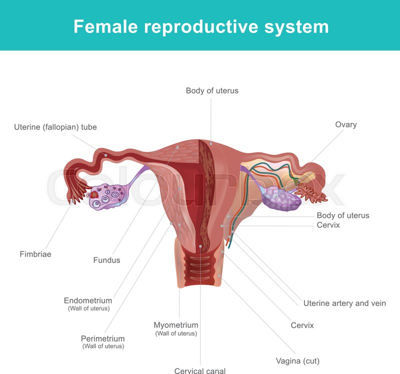 The female reproductive system (or female genital system) contains ...