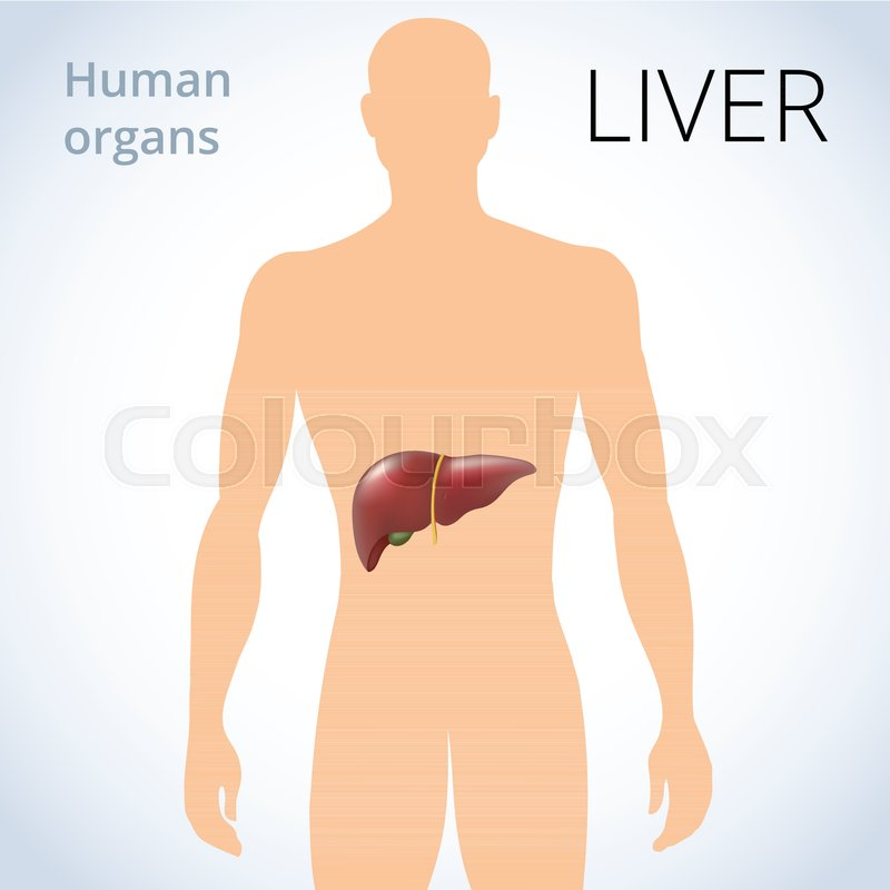 The Location Of The Liver In The Body The Human Digestive System