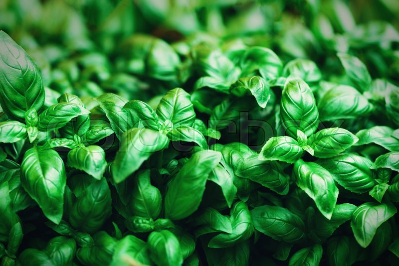 Fresh basil background. Green banner. Food and clean eating concept. Copy space, stock photo