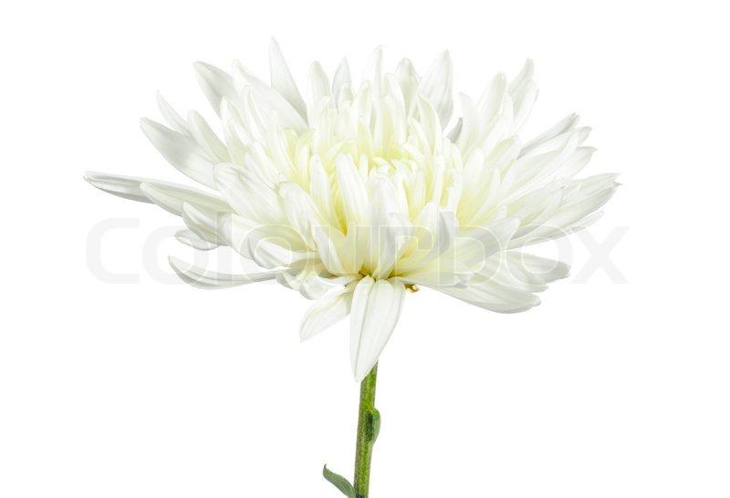 Beautiful white chrysanthemum flower on white background stock beautiful white chrysanthemum flower on white background stock photo colourbox mightylinksfo