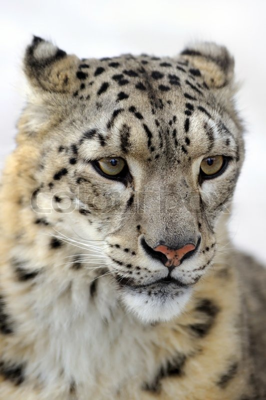 Snow leopard, low DOF portrait, stock photo