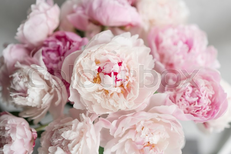 Cute and lovely peony many layered petals bunch pale pink peonies flowers light gray background wallpaper stock photo colourbox cute and lovely peony many layered petals bunch pale pink peonies flowers light gray background wallpaper stock photo colourbox