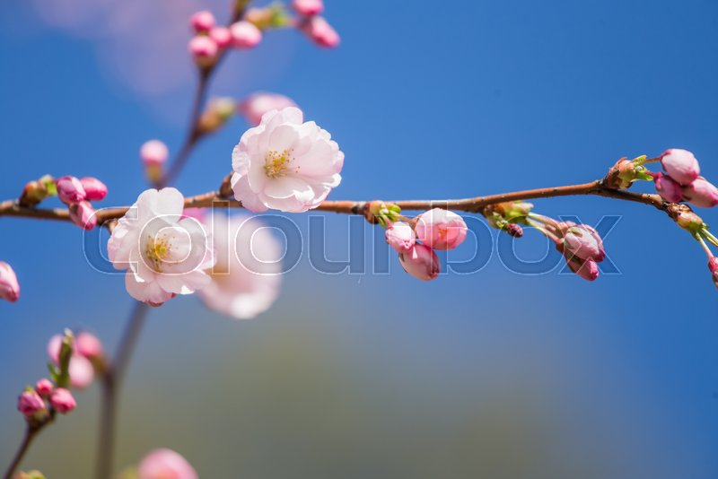 A beautiful sakura cherry blossoms in a sunny spring day. Cherry flowers in natural habitat. Sakura growing in park. Oriental spring atmosphere, stock photo