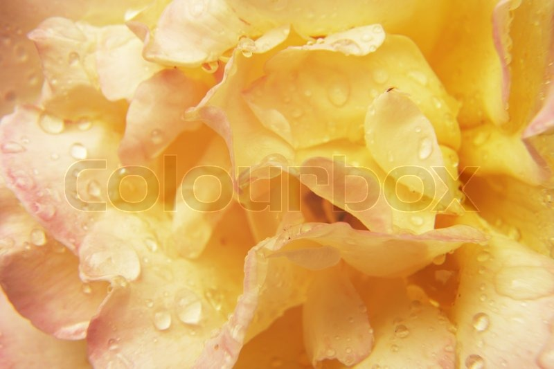 Yellow Rose With Water Drops: Abstract Background - Yellow Rose With ...