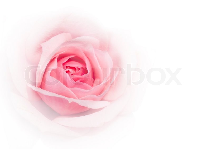 closeup of pink rose on white background stock photo