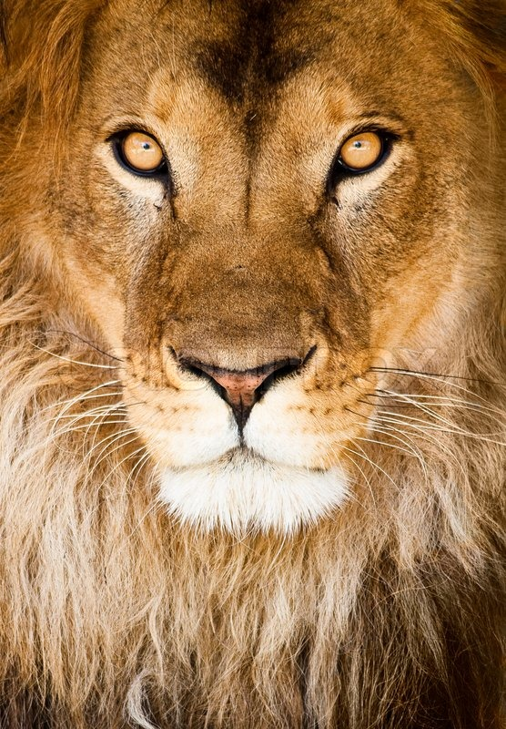 Stock image of 'Lion'