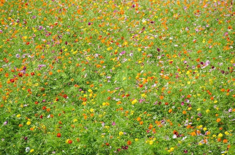 a field of cosmos flowers