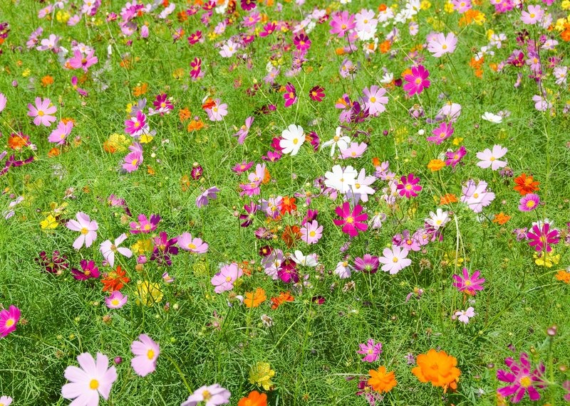 A Field Of Cosmos Flowers Stock Photo Colourbox