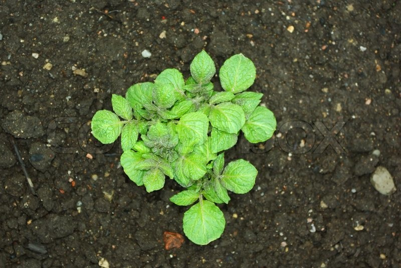 young potato plant growing on the vegetable bed stock