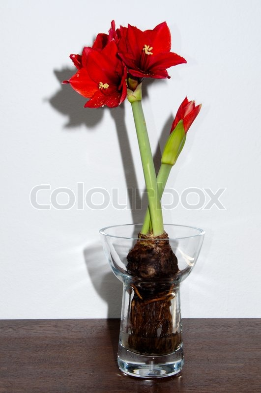 close up of a red amaryllis withbulb and roots in glass vase on bright background stock photo. Black Bedroom Furniture Sets. Home Design Ideas