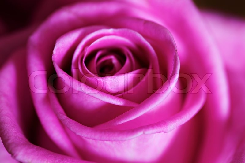 Pink rose macro abstract color stock photo colourbox Colors that go with rose pink