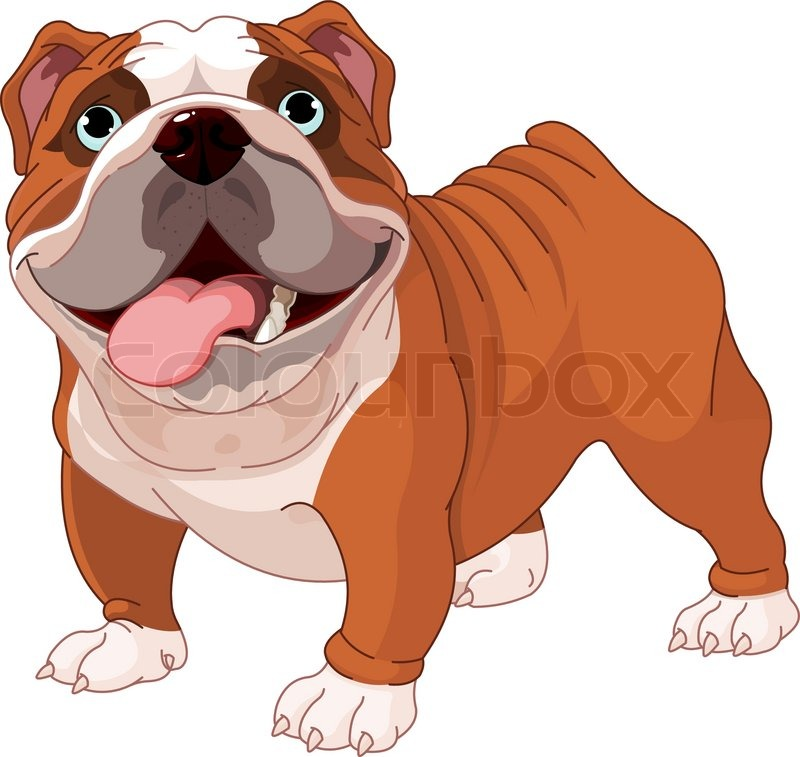 English bulldog , standing in front of white background   Stock ...