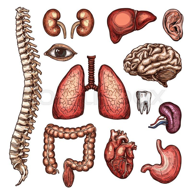 Human organ and bone sketch set of internal and external body parts ...