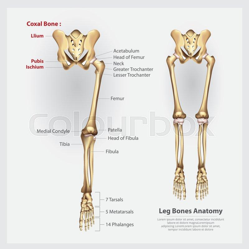 Human Anatomy Leg Bones Vector Illustration Stock Vector Colourbox