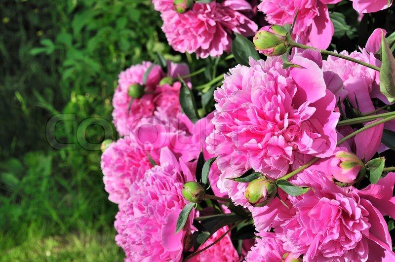 Beautiful Pink Peony Bush Growing In The Garden Stock Photo Colourbox