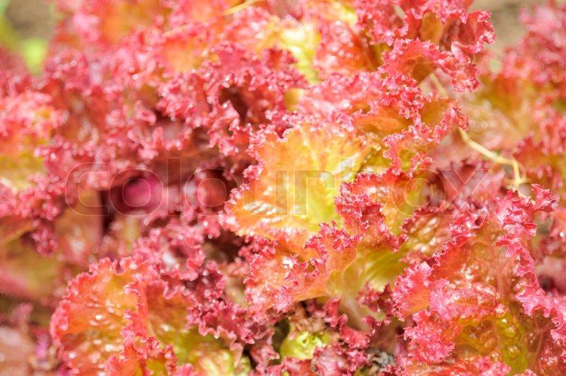 lollo rosso lettuce close up stock photo colourbox. Black Bedroom Furniture Sets. Home Design Ideas