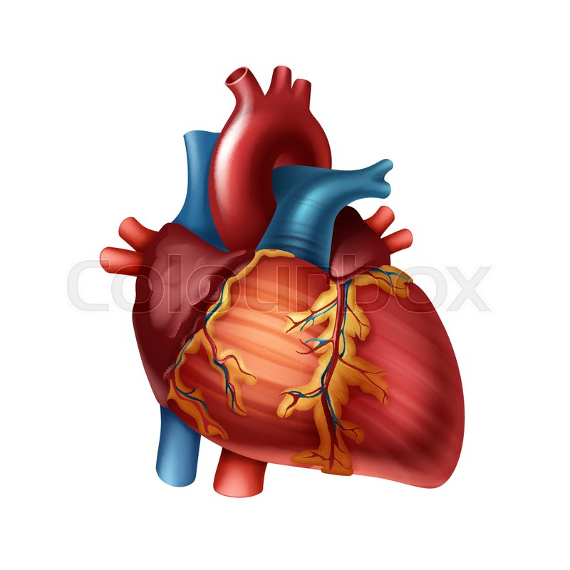 Vector red healthy human heart with arteries close up ...
