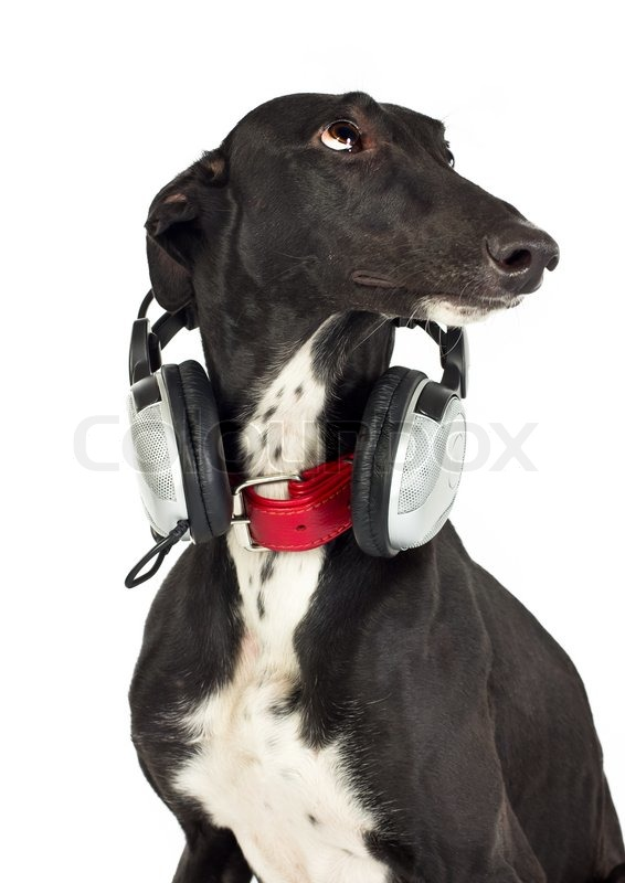 Stock image of 'Greyhound dog with headphones on white'