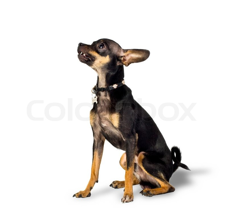 Happy Dog With Toy Toy Terrier Dog With Shadow on