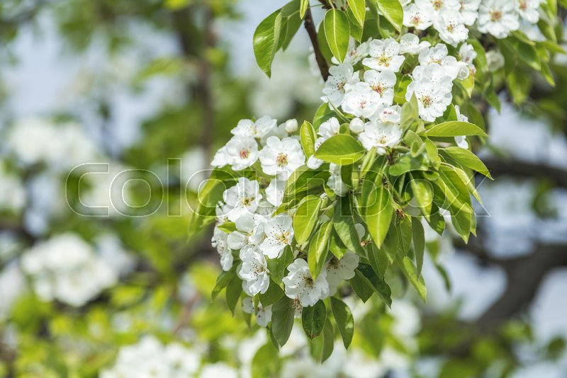 Close up of White Blossom Pear Tree Branch, during Spring Season on Green White Background, stock photo