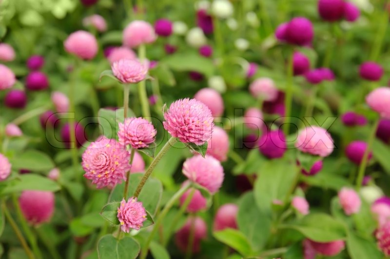 Pink Clover Flowers In Spring Shallow Stock Photo Colourbox