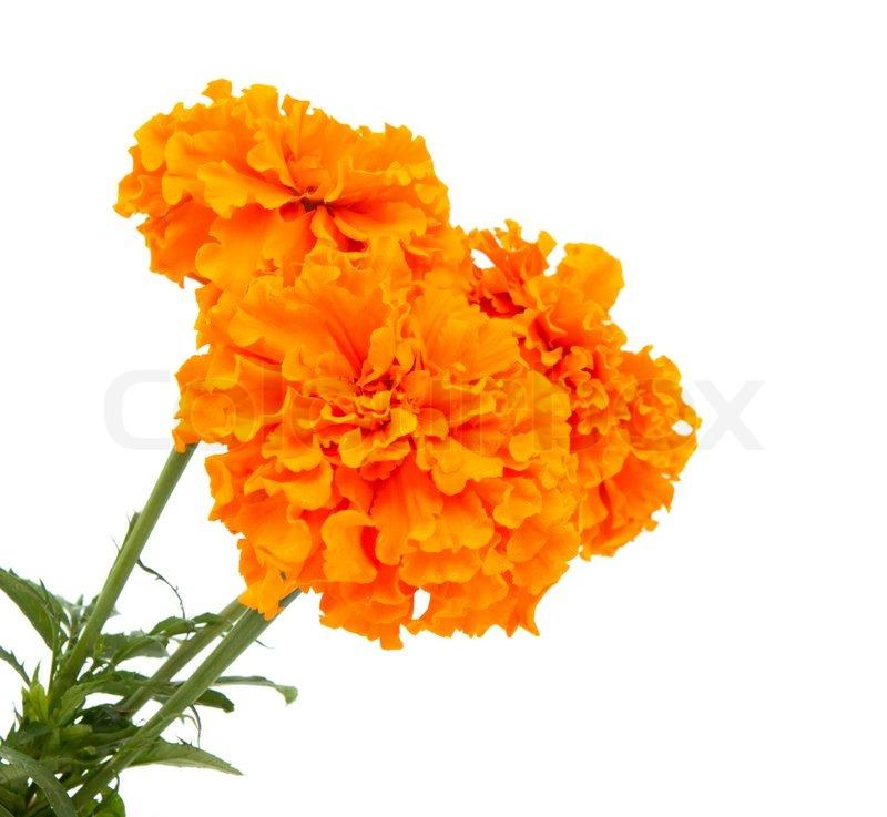 Marigold flowers isolated on white background stock photo colourbox mightylinksfo