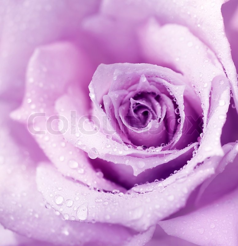 Abstract purple wet rose background, beautiful macro flower with ...