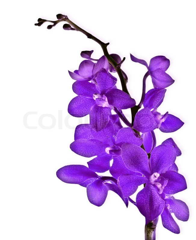 Purple fresh orchid flower isolated on white background stock purple fresh orchid flower isolated on white background stock photo mightylinksfo Choice Image