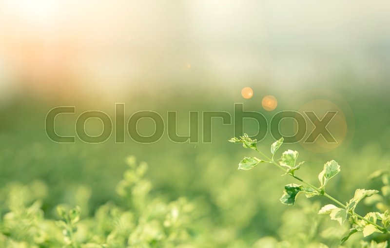 Leaf and fresh nature background concept. Selection focus to green leaf with blurred natural background with sunlight at sunset. Picture for add text message. Backdrop for design art work, stock photo