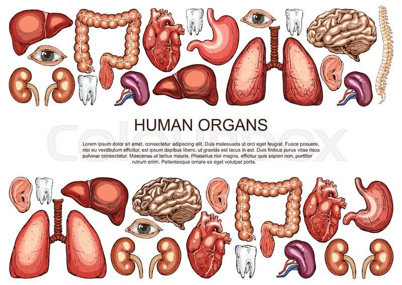 Human body anatomy sketch poster of internal organs of digestive ...