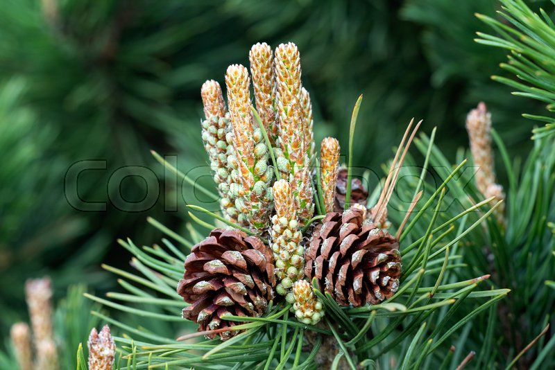 Small pine cones at the end of branches. Blurred pine needles in background, stock photo