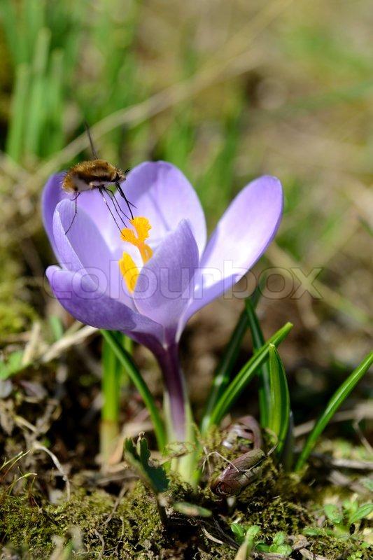 Fr hlingsblumen krokus und kleine insekten hummeln for Kleine fliegen pflanze