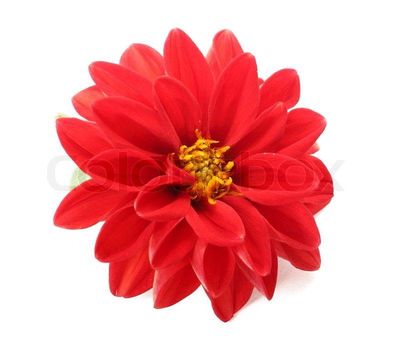 Red dahlia flower isolated on white background | Stock ...