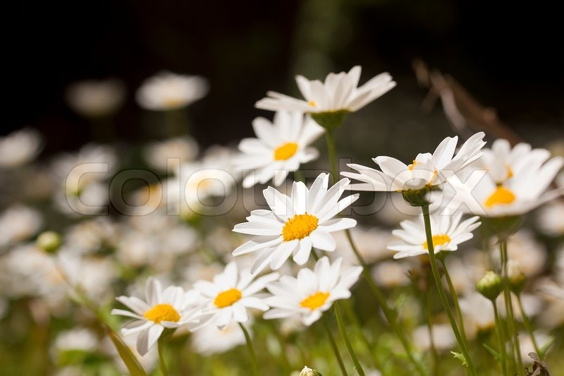 close up photograph of white daisies at a daisy field stock photo