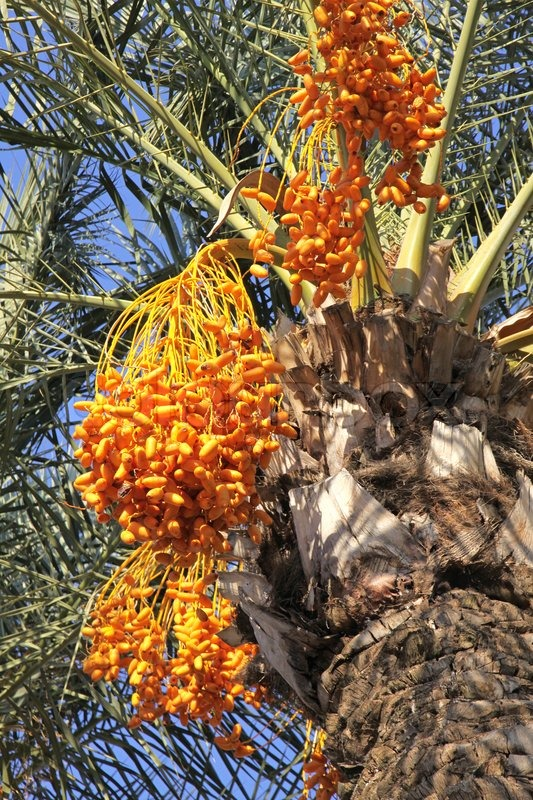 Close-up date palm tree with dates | Stock Photo | Colourbox